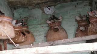 finches colony breeding setup good in urdu hindi