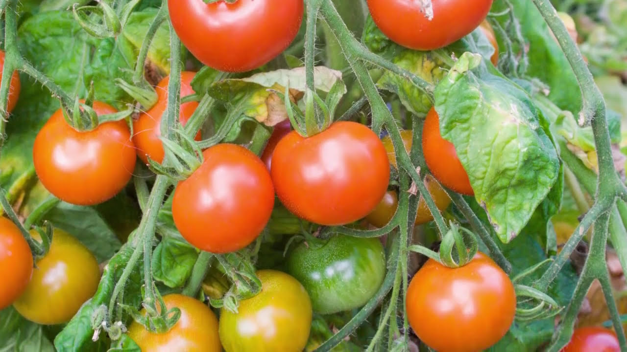 How to grow your tomato seeds How to get tomato seeds