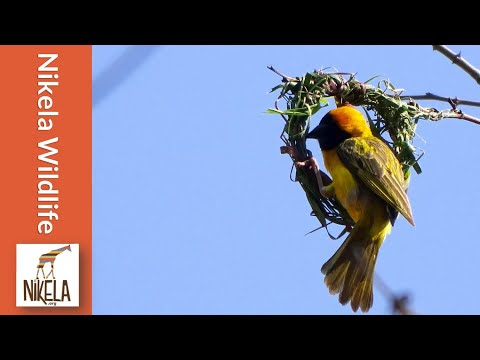 Watch a Weaver Bird build a nest in a single day