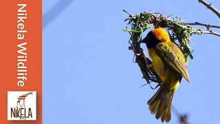 The masked weaver bird is a skilled nest builder. Did you know he u...