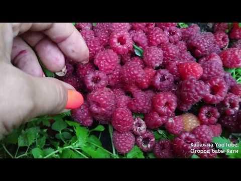Почему в малине черви и ягоды корявые? Методы борьбы. | вредители | червивая | малинным | малинный | огород | методы | малины | малине | малина | борьбы