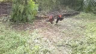 Video Pikat Ayam Hutan Ego #7 download MP3, 3GP, MP4, WEBM, AVI, FLV Desember 2017