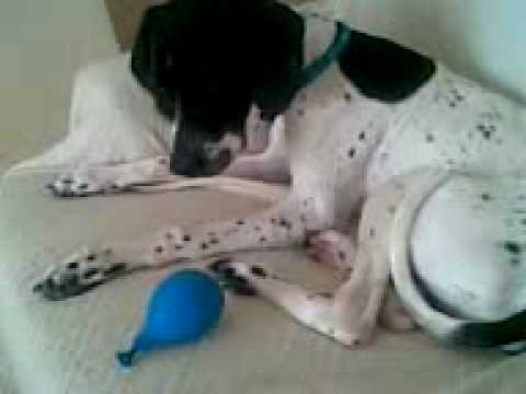 George the English pointer plays with a balloon