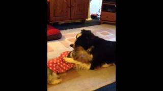 Billy The Border Collie And Daisy The Yorkshire Terrier Playing