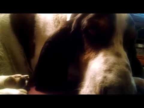 Bassett Hound - Tired/Crabby