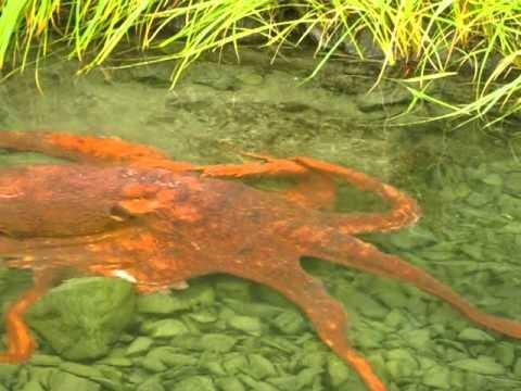 Freshwater octopus - photo#14