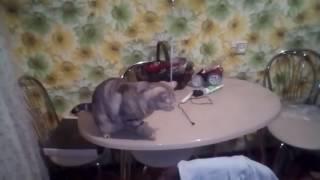 кот и воздушные шары