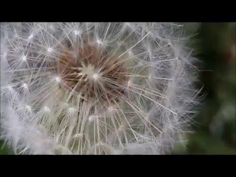 dandelions by guestlist subscribers