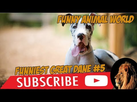 Funniest Great dane videos # 6 made by funny animal world
