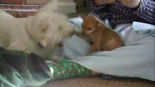 Westie And Miniature Pinscher Dogs Playfighting