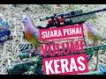 Suara Burung Punai Pikat Volume Keras Dan Jernih  Mp3 - Mp4 Download