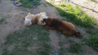 Tibetan mastiff 4month and chow chow 16month - 2