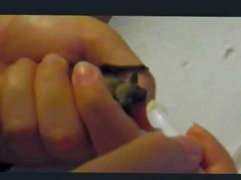Baby bat - Piccolo pipistrello di casa: Pam (pt. 3)