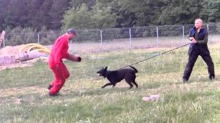 K9 Black Mix Malinois & German Shepherd
