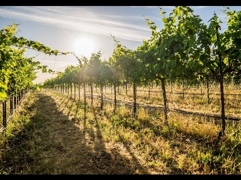 Northern California Vineyard | Lassen Creek Vineyards, Tehama County, CA