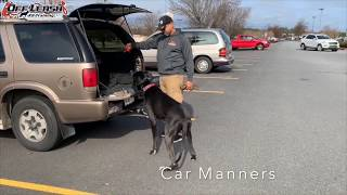 "1 Year Old Great Dane ""Optimus"" Before/After Video 