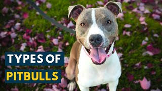 Types of Pitbulls: Your A to Z Video Guide Of Every Breed!