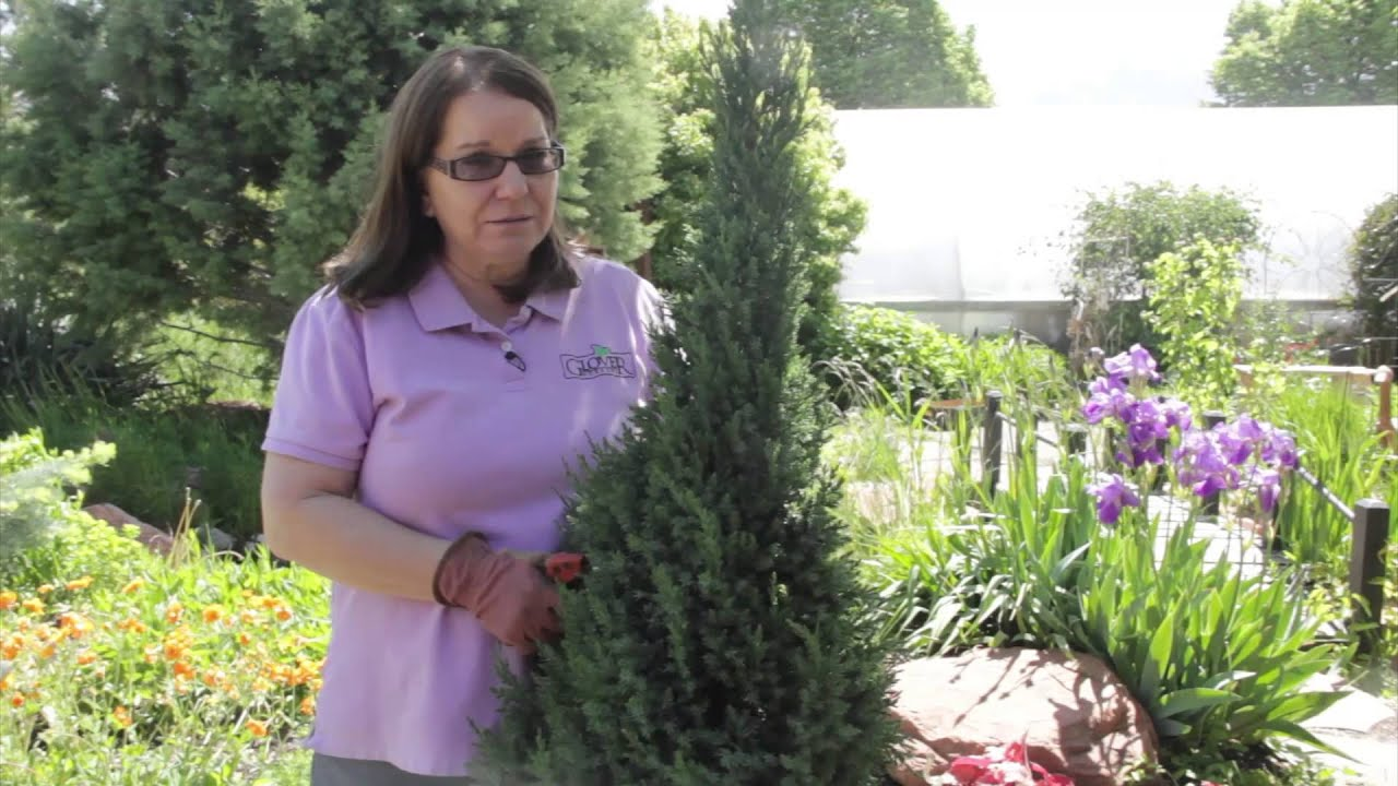 How to Prune Upright Juniper : Grow Guru
