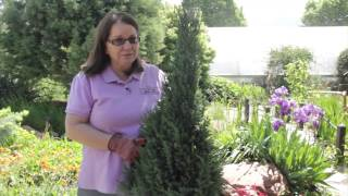 How to Prune Upright Juniper : Grow Guru