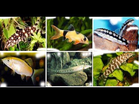 Beautiful Loach Fish For Aquarium