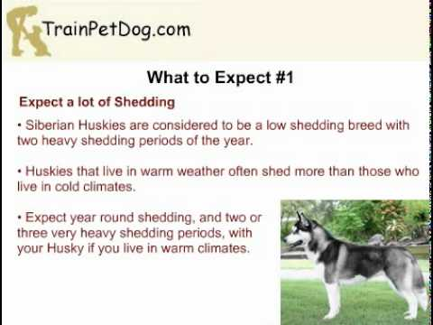 Can A Siberian Husky Survive In A Warm Climate Youtube
