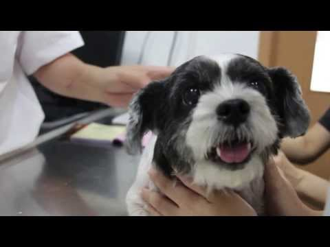 A Shih Tzu has skin diseases and multiple skin warts 1/4
