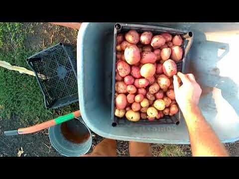 Второй урожай картофеля за сезон