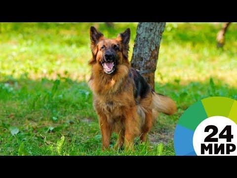 Хвостатый страж порядка: скончался пес из «Возвращения Мухтара-2» - МИР 24