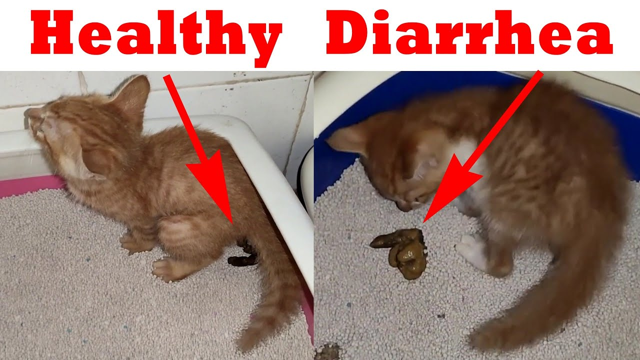 Kitten Diarrhea Tell Diarrhea Or Healthy Poop Cats Use The Toilet Youtube