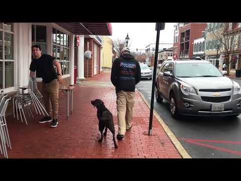 9mo Chocolate Lab (Chessie) Best dog trainers in Virginia