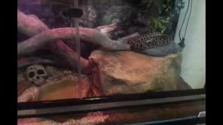 Diamond x Coastal Carpet python enclosure