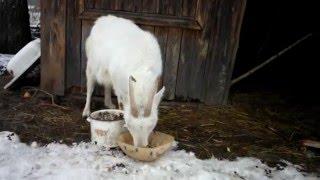 Уход и содержание коз зимой.
