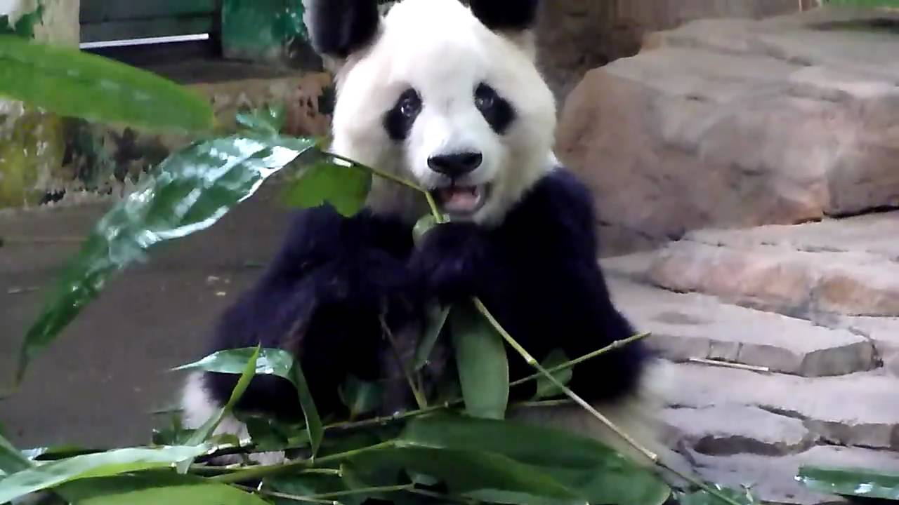 cute panda eating bamboo hd youtube