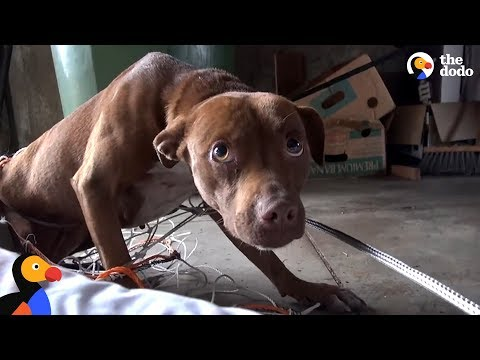 This Stray Pittie Just Made The Most Amazing Transformation | The Dodo