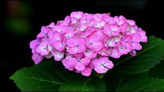 紫陽花の詩・4K撮影