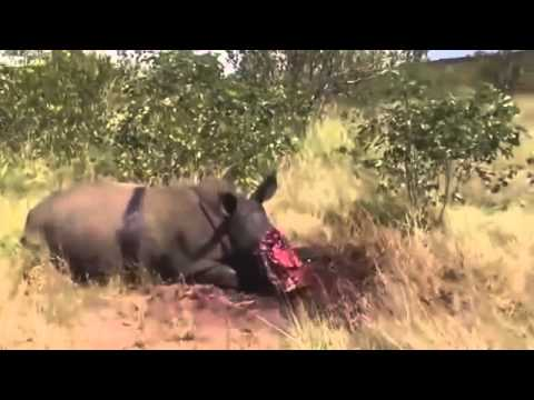 Rhino Poached in Kruger National park 2013-2014