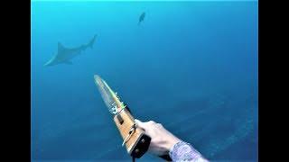 Sandbar Shark Spearfishing