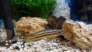 熱帯魚, Julidochromis regani