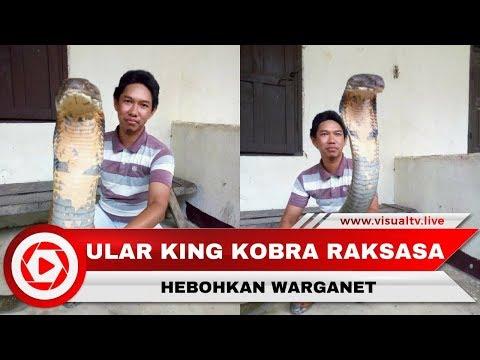 Image of Heboh Ular King Kobra Raksasa, Asli atau Palsu?