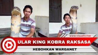 Download Video Heboh Ular King Kobra Raksasa, Asli atau Palsu? MP3 3GP MP4
