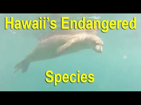 3 Of Hawaii's Most Endangered Species – Hawaiian Monk Seal, Nene, Green Sea Turtle