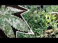 Powdery Mildew Treatment Baking Soda | Fungus on Plants | How to Get Rid of Powdery Mildew