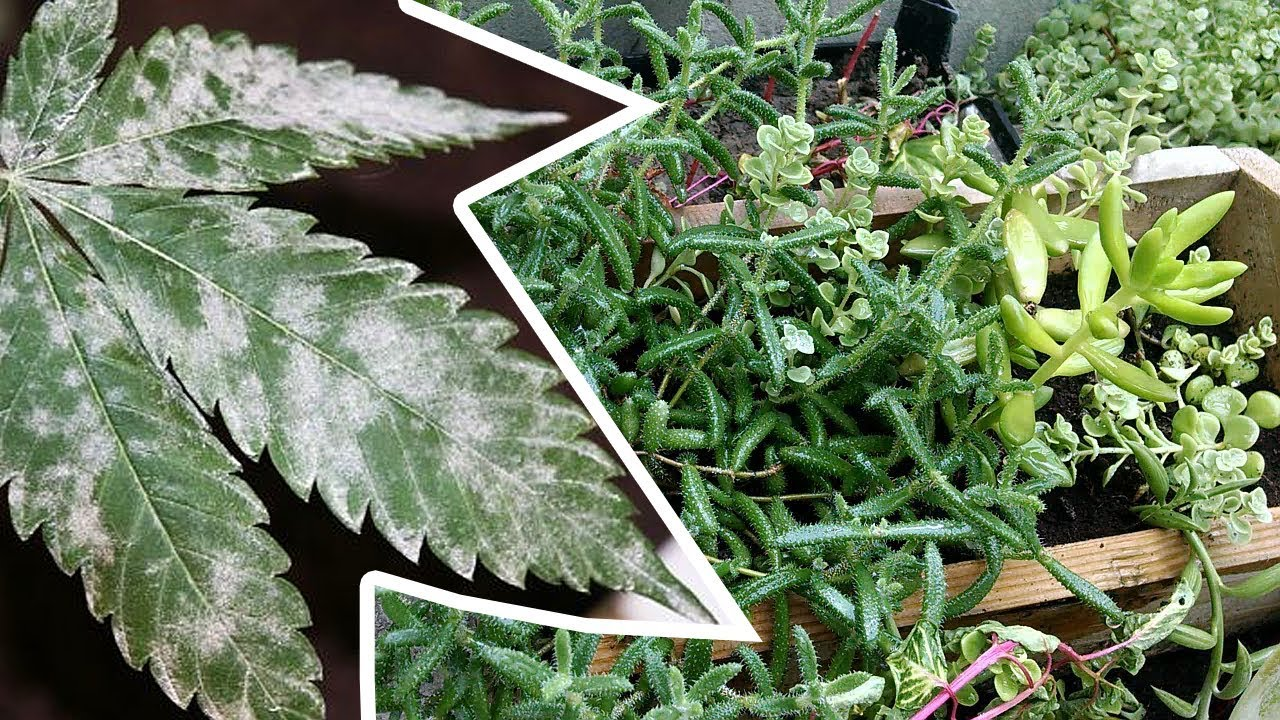 Powdery Mildew Treatment Baking Soda Fungus On Plants How To Get
