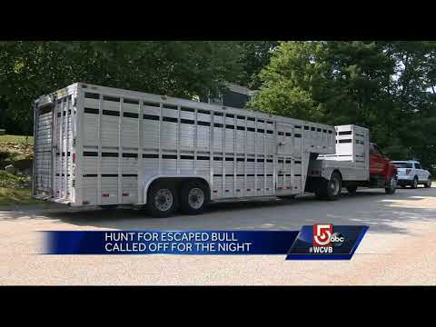 Hunt for escaped bull in Massachusetts continues