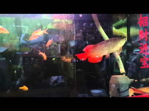 ปลามังกรแดงครับ ขายสนใจเสนอราคามาเลยครับ