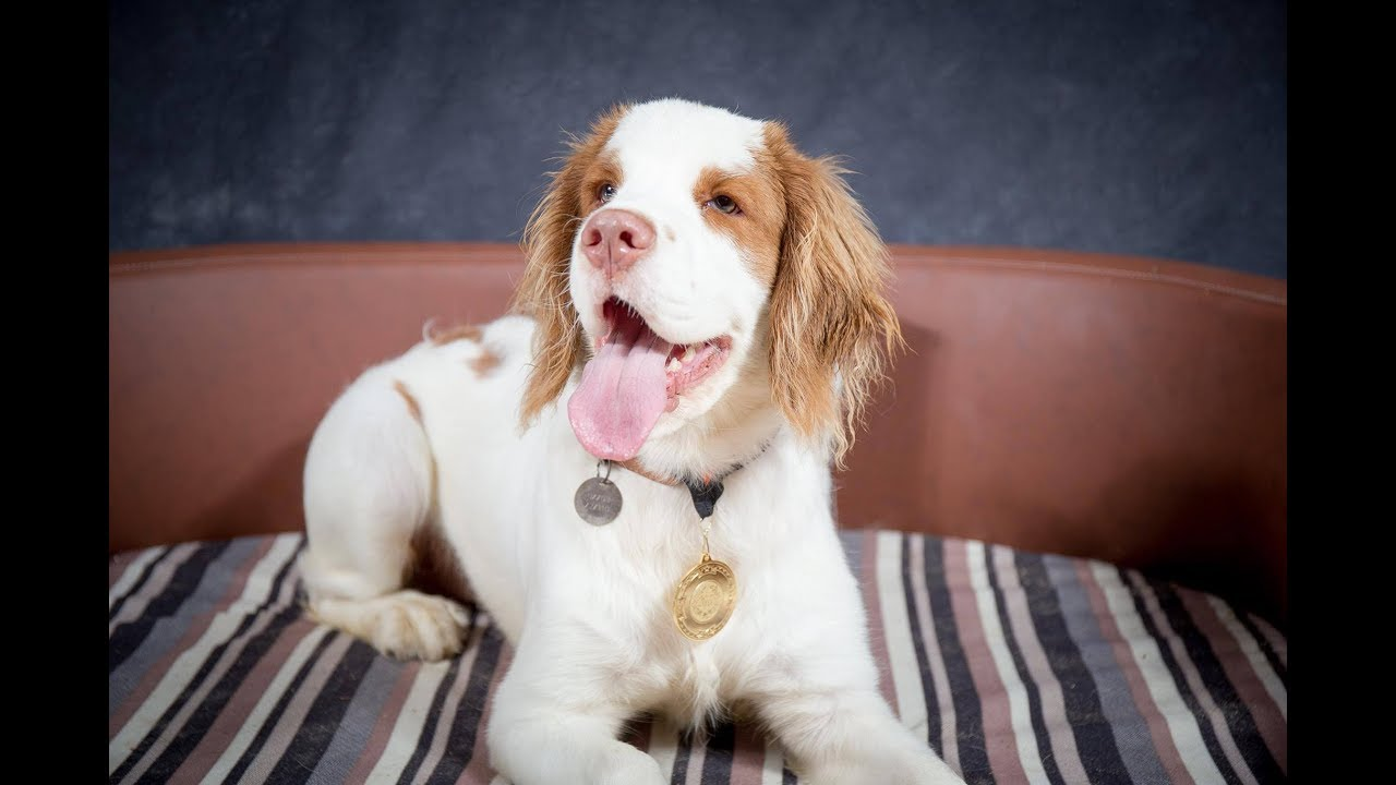 Clyde Clumber Spaniel Puppy 4 Weeks Residential Dog Training