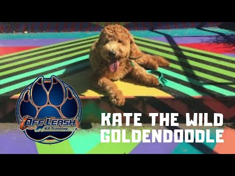 Asheville Dog Trainers- KATE THE WILD GOLDENDOODLE