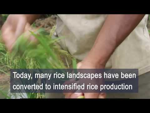 Rice Field Fisheries: Wild Aquatic Species Diversity, Food Provision Services And Inland Fisheries