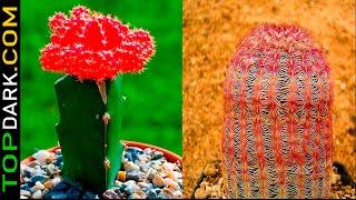 15 Cactus más raros y hermosos del mundo