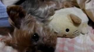 ヨーキー湯たんぽ Yorkie + Hot Water Bottle ヨークシャテリア Yorkshire Terrier